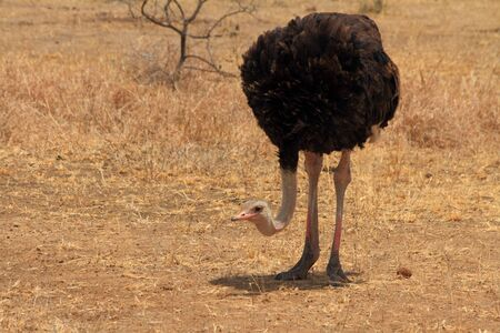 bowing head: An Ostrich,  Struthio camelus , bowing its head down near its feet and looking up  Stock Photo