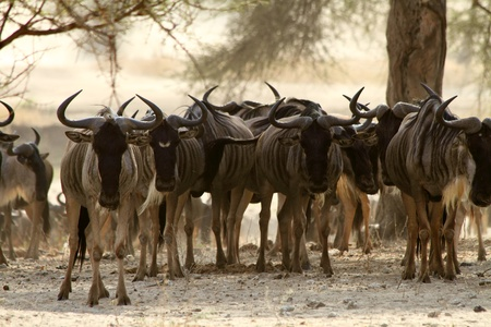 taurinus: A herd of Wildebeest  Connochaetes taurinus   stare at the camera