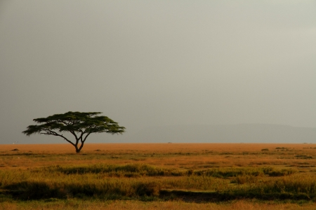 A lone acacia tree on the Serengeti set against a misty and expansive sky 版權商用圖片