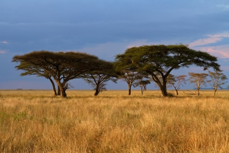 Group of Acacia trees in the Serengeti plains during sunset and with storm clouds in background 版權商用圖片