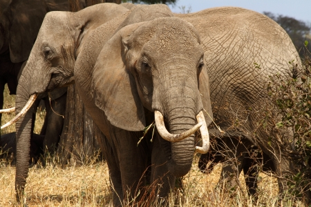 Large African Bush Elephant  Loxodonta africana  with big tusks and ears back   More elephants in background