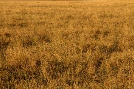 Yellow grasslands in Serengeti National Park, Tanzania, Africa