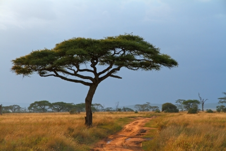 A lone Acacia tree with a dirt road running along beside it photo