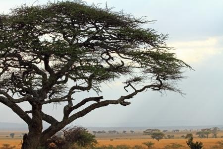 An acacia tree frames the African savannah