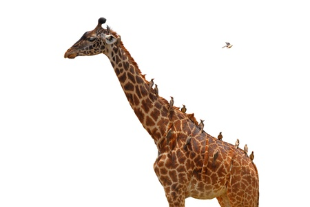 A giraffe covered in birds (oxpeckers) that are gleaning it - isolated Stock Photo