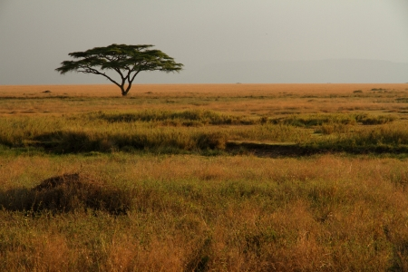 A lone acacia tree sitting in the colorful grasses of the African savannah Stock Photo
