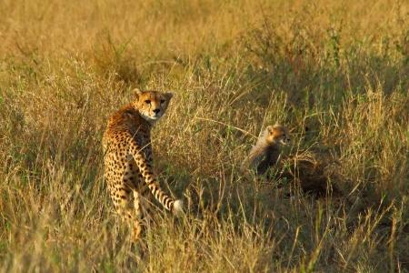 Female Cheetah and her cub in the savannah grass