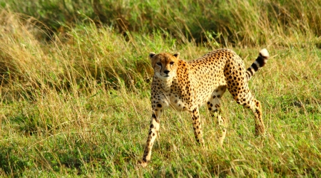 A lone female cheetah stares dramatically into the camera photo