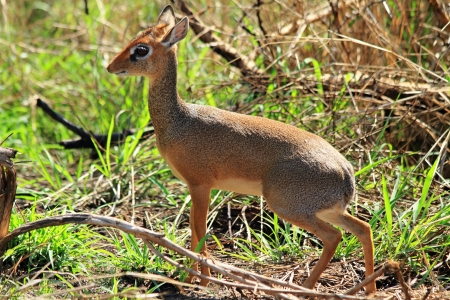 A female dik dik in the bush (Madoqua kirkii) photo