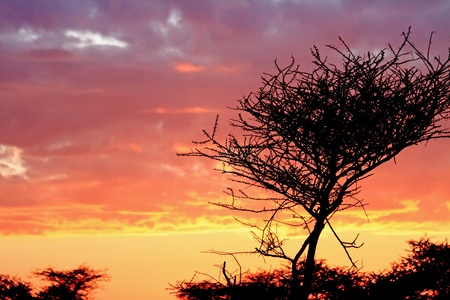 A sunrise in Serengeti National Park, Tanzania with a thorny acacia tree in silhouette