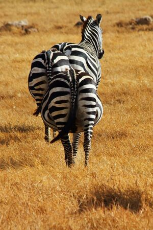 viewed from behind: Three pregnant zebras viewed from behind in the Ngorongoro crater in Tanzania  Stock Photo