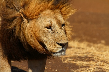 sadly: A male lion looks off into the distance sadly