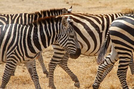 scarred: A beat up and scarred old zebra walks with the rest of the herd
