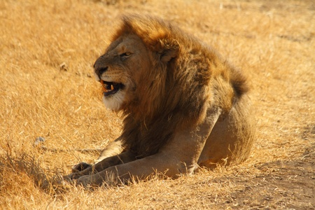 Lion snarling while resting