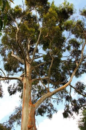 bunyoni: a very tall tree with peeling bark standing on Itambira Island, in Lake Bunyoni, Uganda