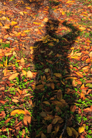 shadow: The silhoutette of a photographer among the leaves of fall on the ground
