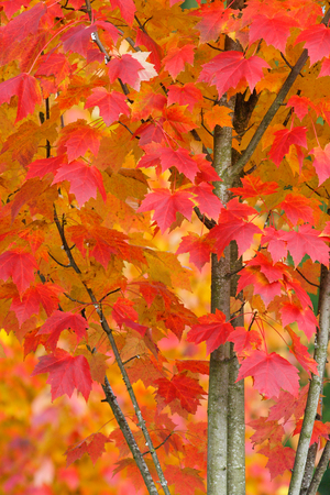 A closeup of part of a brightly colored maple tree turns red and gold during Autumn