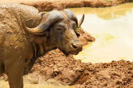 A very muddy cape buffalo stares at the camera  photo