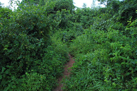 A dirt path trhough  thick and dense jungle bushes  photo