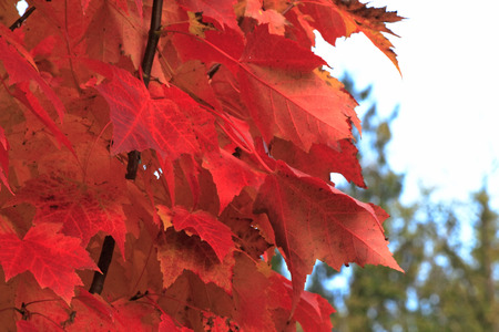 Red maple leaves on a maple tree