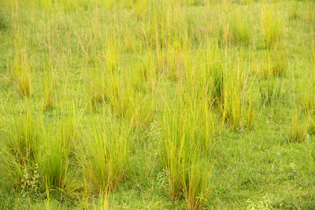 Bright yellow green clumps of grass in the african savannah in Uganda  Stock Photo