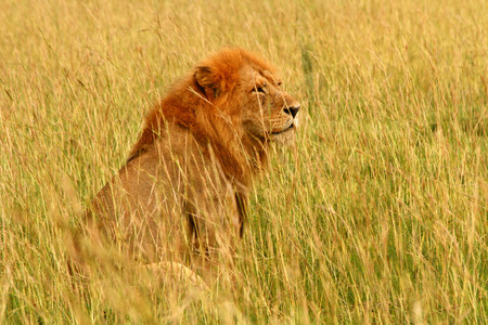 A male lion sits in the savannah surveying his surroundings  Stock Photo