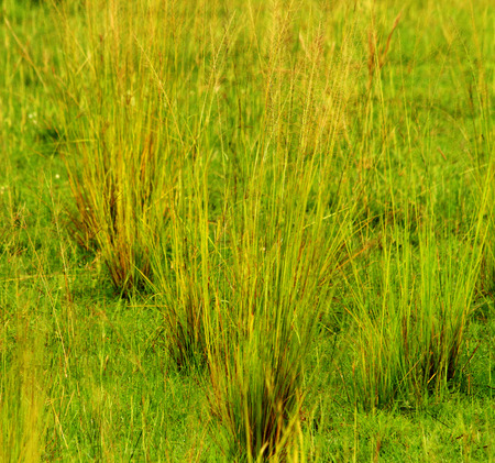 Clumps of Savannah grass going to seed at the ends of each blade of grass