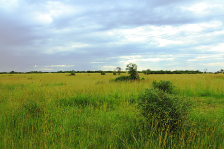 A stormy Uganda savanna full of green and yellow grasses, trees, bushes, and a couple of giraffes