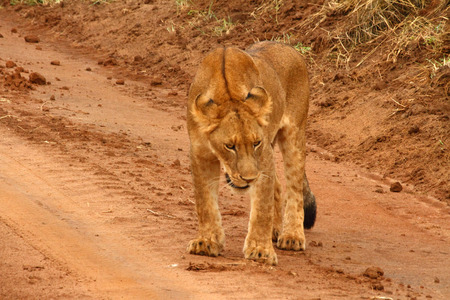 A juvenille lion stands on a dirt road in Uganda