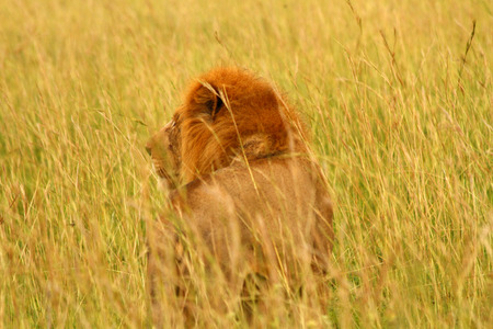 A male lion with a red mane looks into the savannah grass while standing