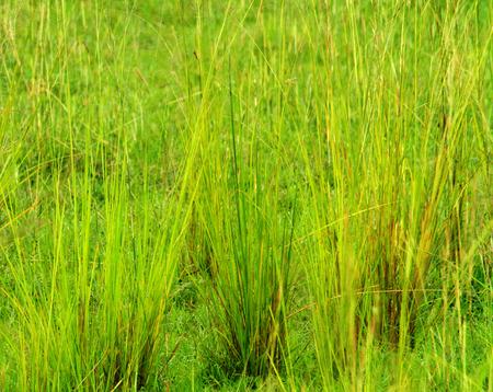 Closeup of a group of savannah grasses