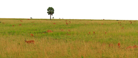 A herd of Kob Antelope on a grassy hill in Uganda  Stock Photo