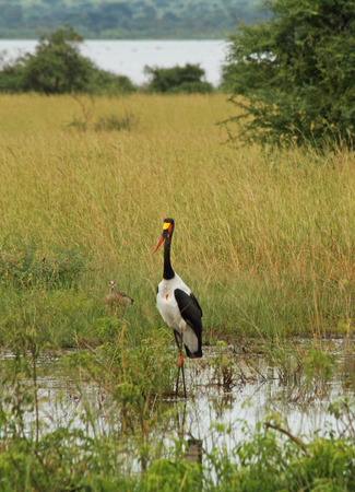 A saddle billed stork walks through a marsh in Uganda whiie a duck looks on in the background