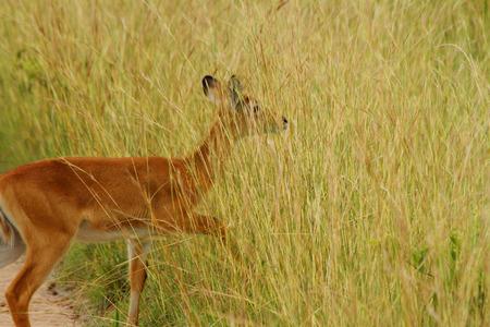 A female Kob steps into the camoflague of the Ugandan grassland to hide