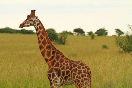 A male giraffe stands against a green savannah background having just finished urinating