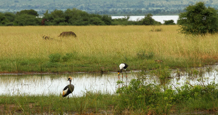 A group of animals on a Ugandan plain   They include a Grey Crowned Crane, a Saddle Billed Stork, a duck, Cape Buffalo and an Elephant in the background
