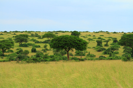 Umbrella like trees and bushes scattered along the grassy plains of Murchison Falls National Park in Uganda  Stock Photo