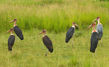A group of creepy looking marabou storks Stock Photo