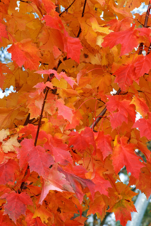 Firey colored leaves on a tree during the season of Autumn