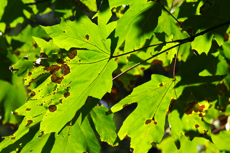The colors of the start of Autumn as seen on maple tree leaves Stock Photo