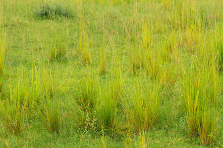 Newly growing groups of green and yellow savannah grasses Stock Photo