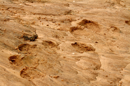 A pair of large hippo foot prints in the sand along their river habitat