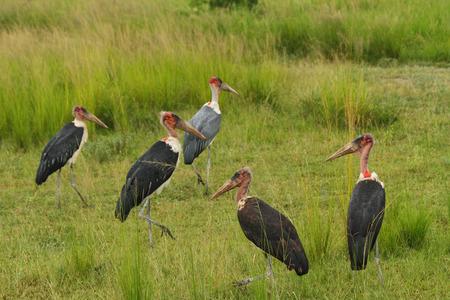 A group of marabou storks in the grasslands of Uganda