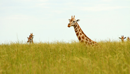 Multiple Giraffes poking their heads up out of the long savannah grasses.