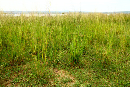 Lush green and yellow savannah grasses along the Nile river in Uganda Stock Photo
