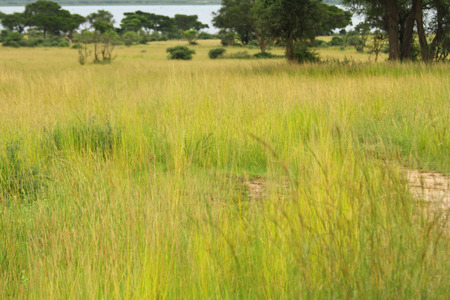 Ugandan grassland savannah with growing bright green and yellow grasses on the shore of the Nile river