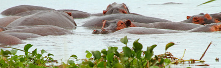 A panoramic shot of a single hippopotamus looking at the camera among a group of hippos in the water. Stock Photo