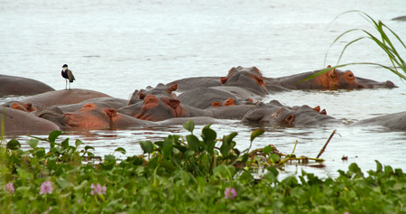 A group of hippopotamusses sleeping together in the nile river among the water plants in the foreground.  A lone bird perches on top of one hippopotamus.