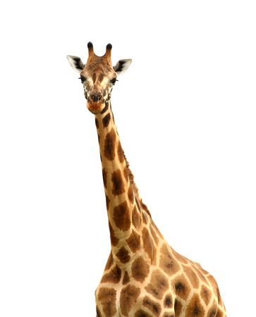 A giraffe, isolated against white, looking at the camera Stock Photo