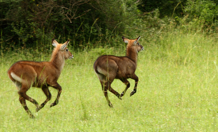 A pair of waterbuck juviniles prance along a grassy meadow in Uganda